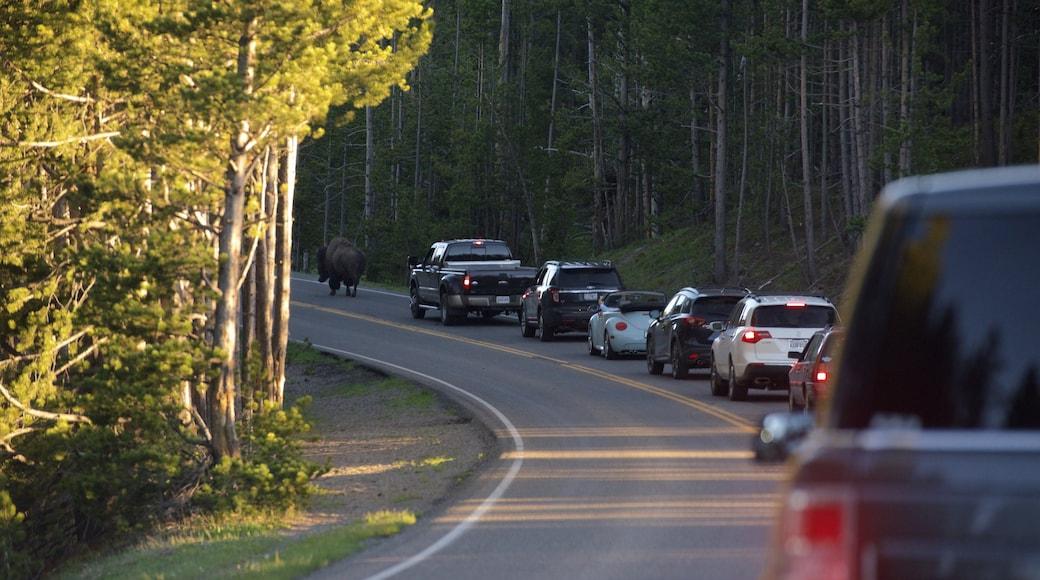 懷俄明西北部 呈现出 寧靜風景 和 陸上動物