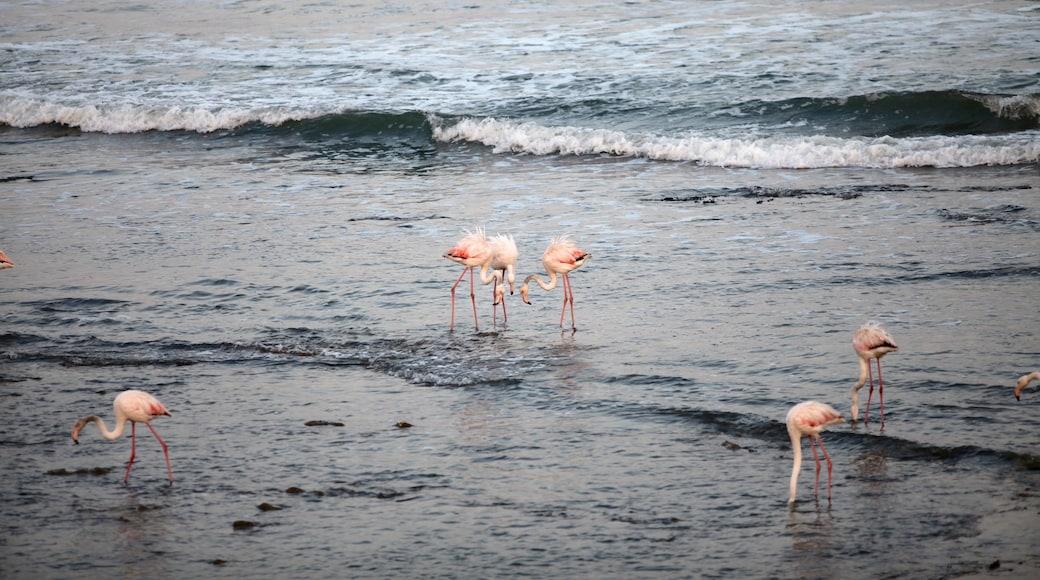 Swakopmund das einen Vögel, allgemeine Küstenansicht und Brandung