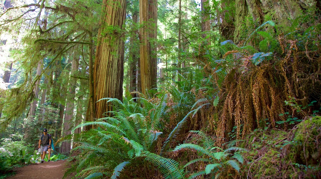 Redwood National and State Parks showing forests and hiking or walking as well as an individual male
