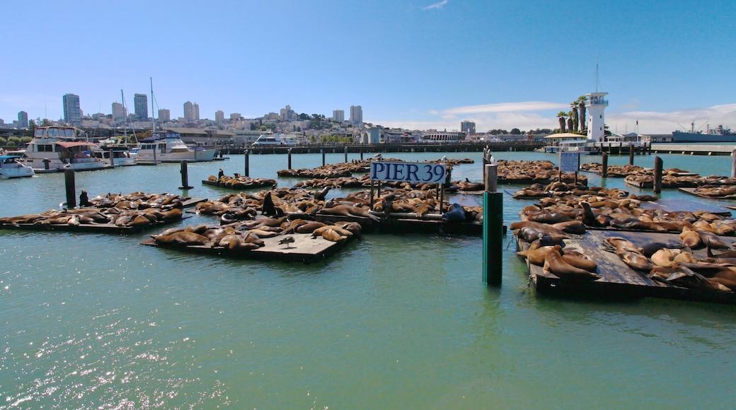 Pier 39 som omfatter skyline, en bugt eller havn og en marina