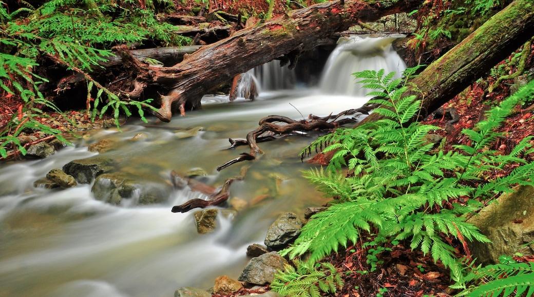 Baumriesen des Muir Woods welches beinhaltet Wälder, Fluss oder Bach und Landschaften