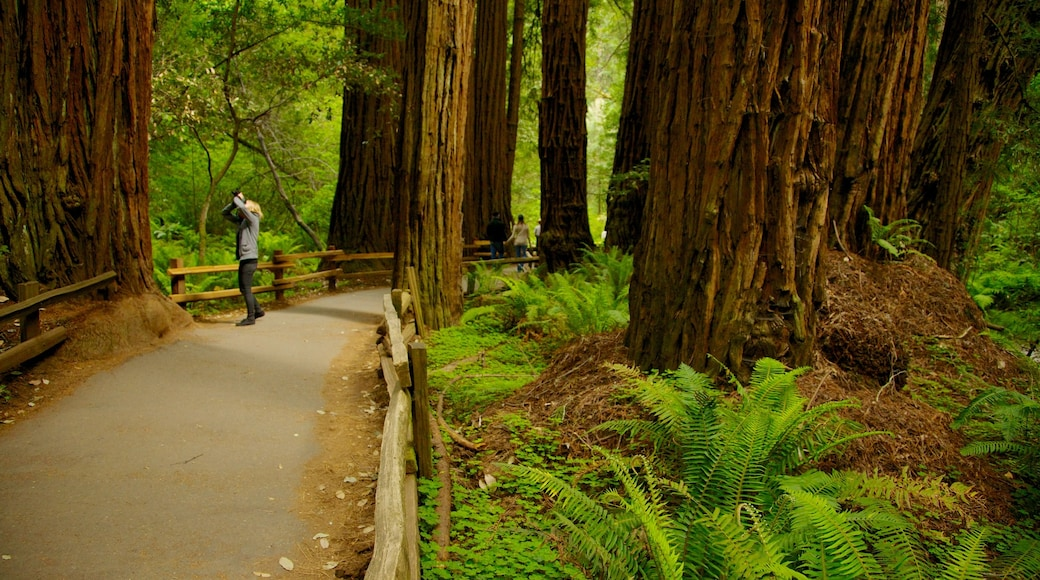 Baumriesen des Muir Woods das einen Wälder, Landschaften und Park