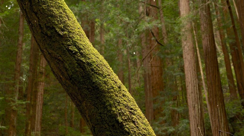 Baumriesen des Muir Woods welches beinhaltet Landschaften und Waldmotive