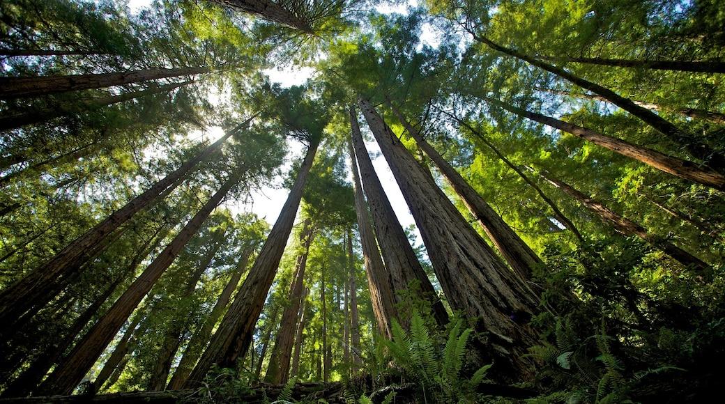 Baumriesen des Muir Woods das einen Waldmotive und Landschaften