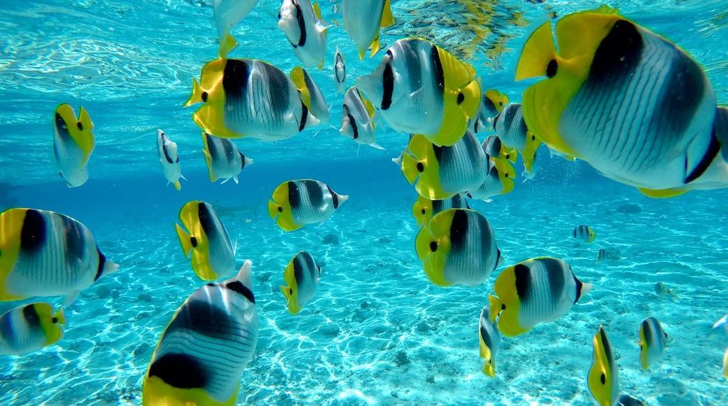 Bora Bora mostrando vida marina