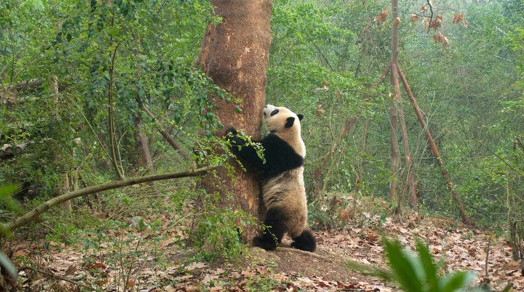 Giant Panda Breeding Research Base which includes zoo animals, land animals and forest scenes