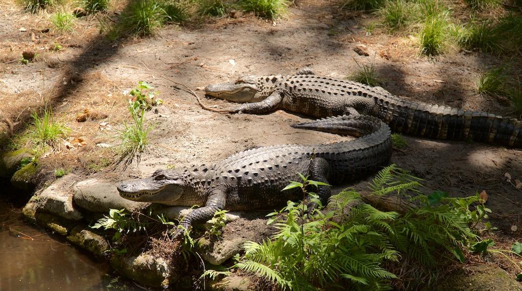 Okefenokee Swamp Park featuring dangerous animals