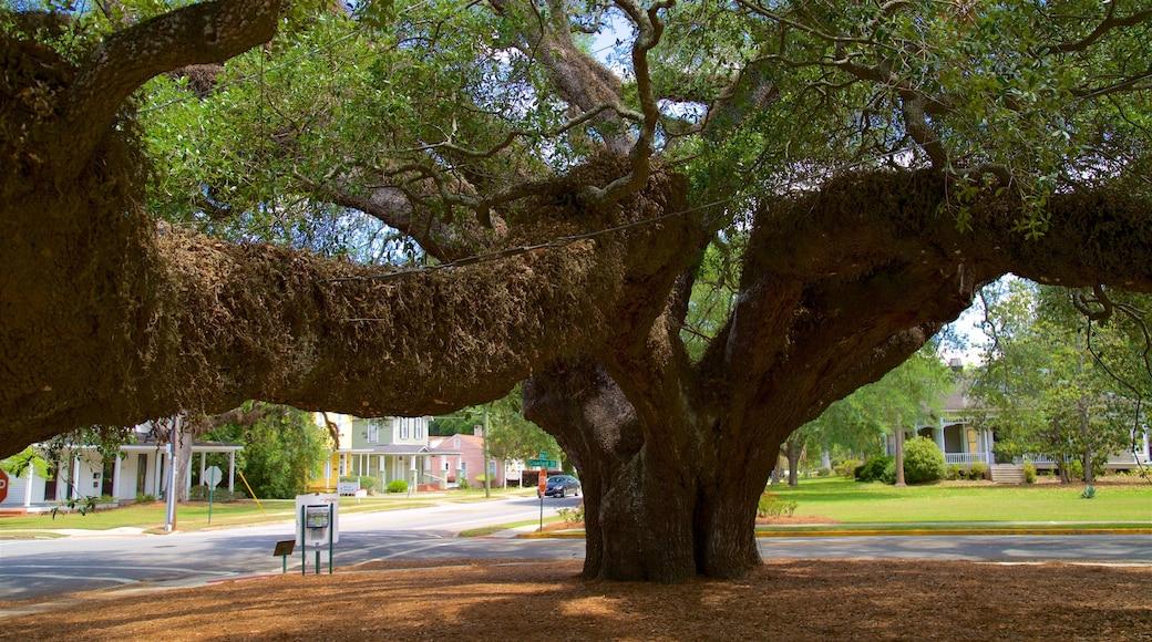 Thomasville\'s Historic Big Oak showing a park