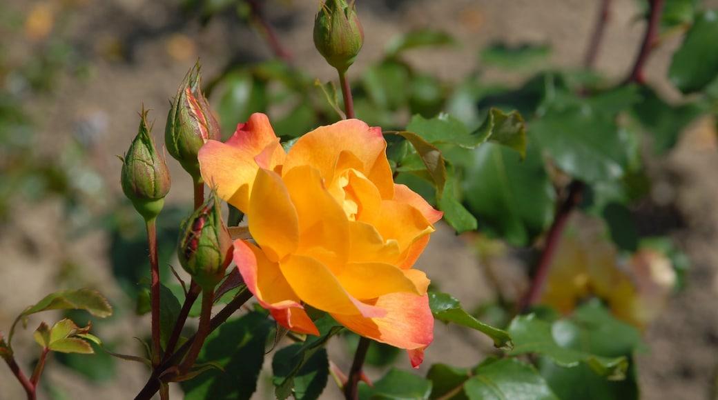 Epinal mettant en vedette fleurs
