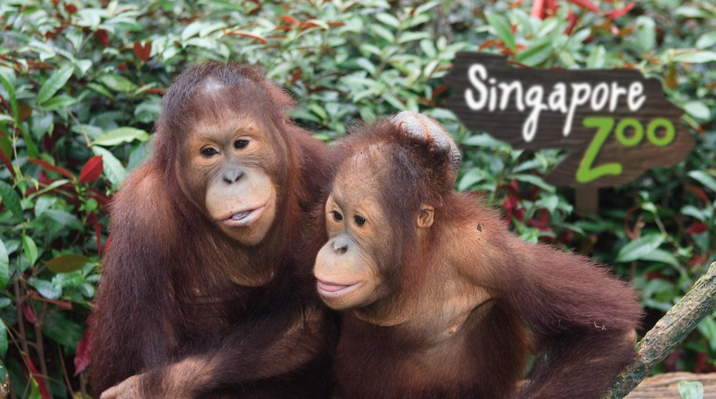 Singapore Zoo showing zoo animals and animals