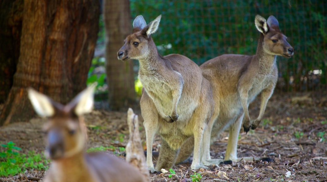 Perth Zoo which includes zoo animals and land animals