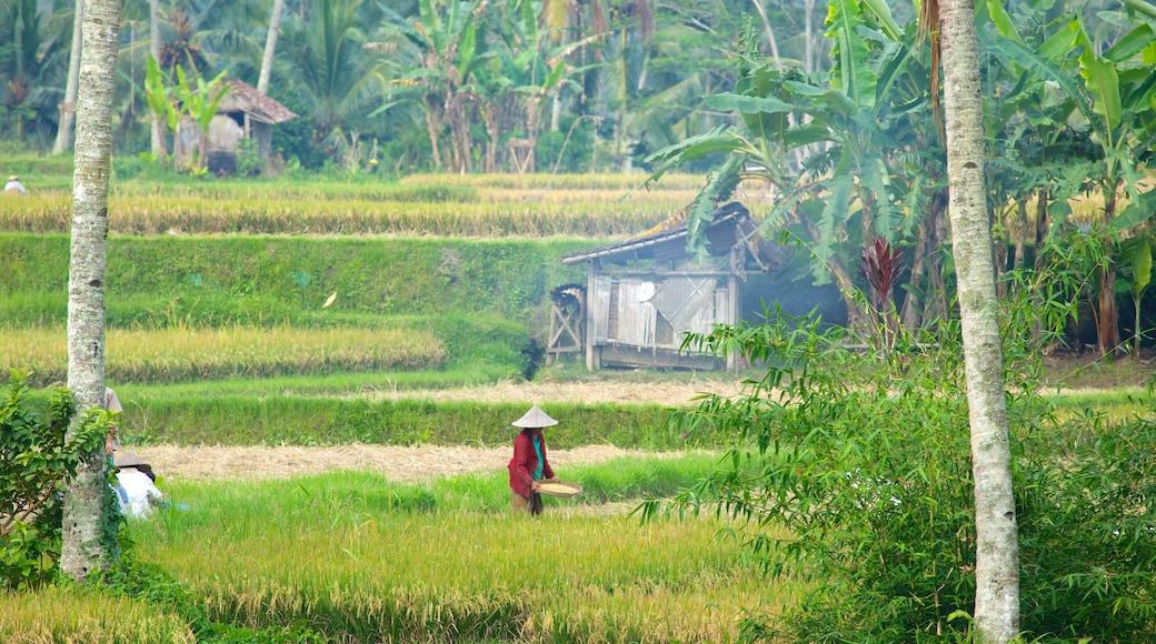 Bali showing farmland