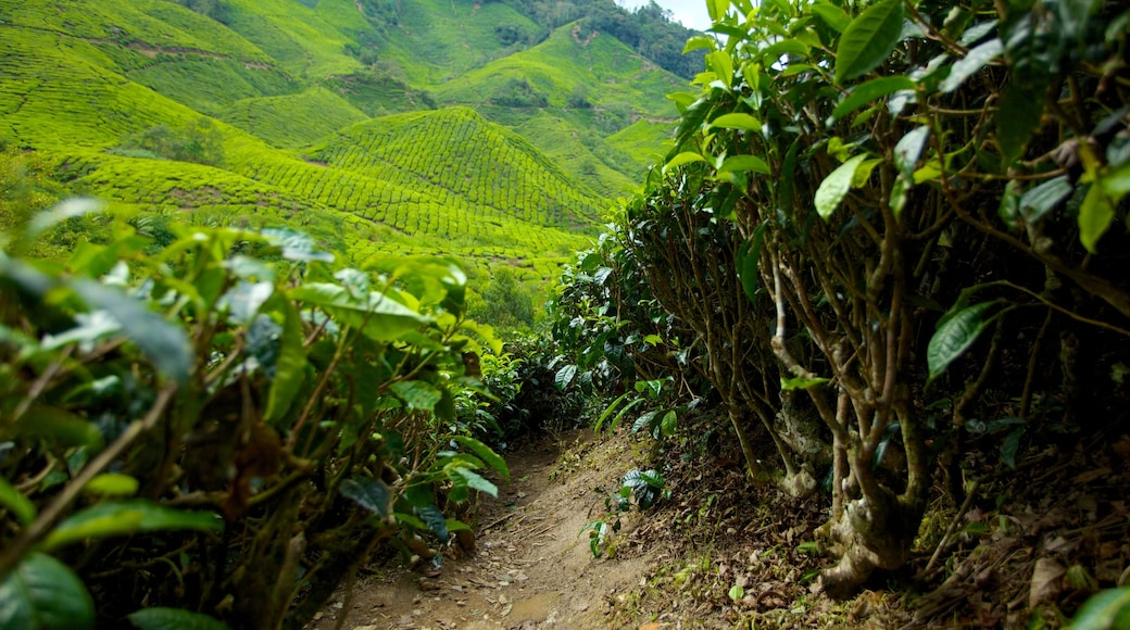 Cameron Highlands showing landscape views and tranquil scenes