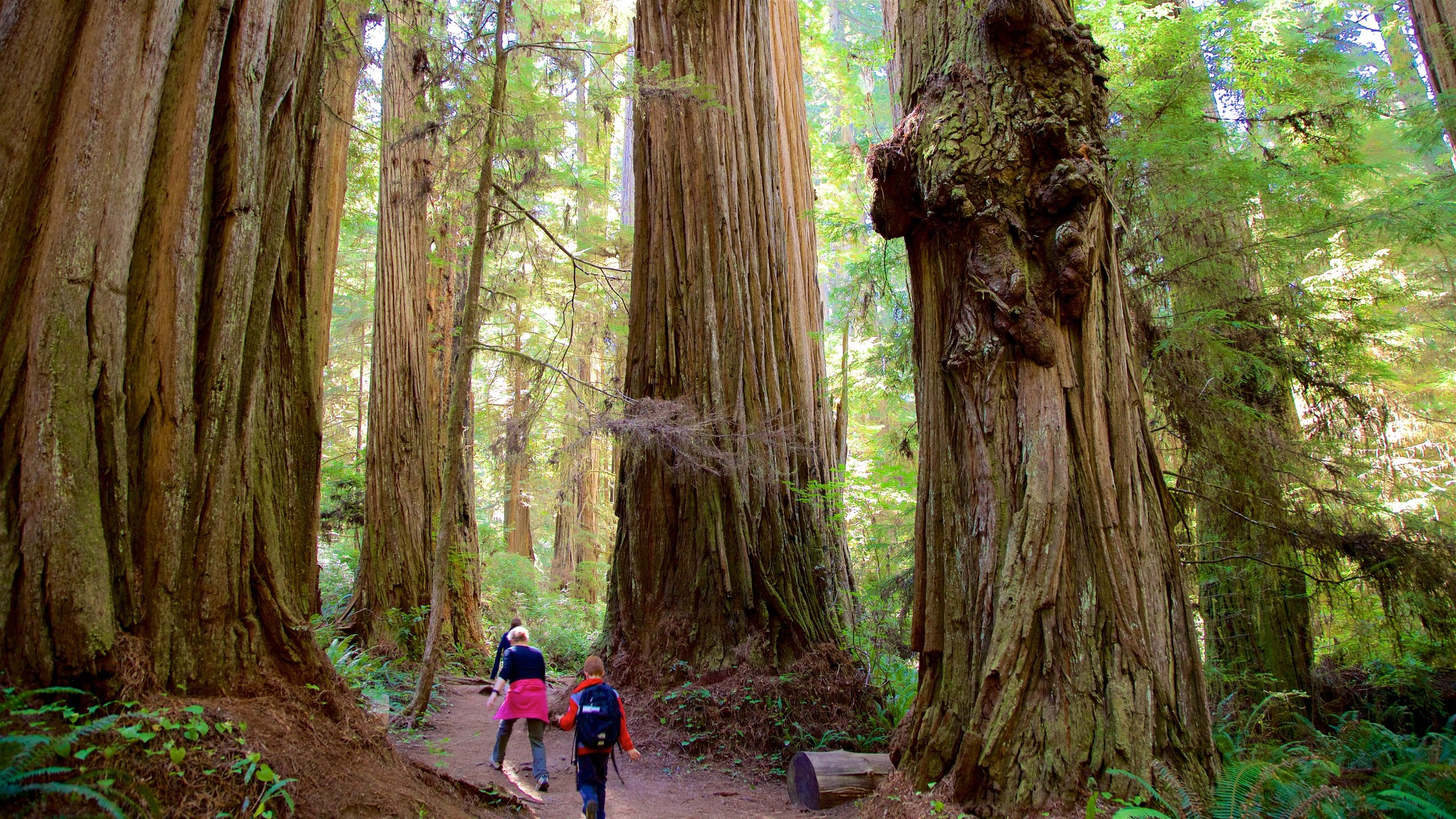 Boy Scout Tree Trail, Crescent City, California, United States of America