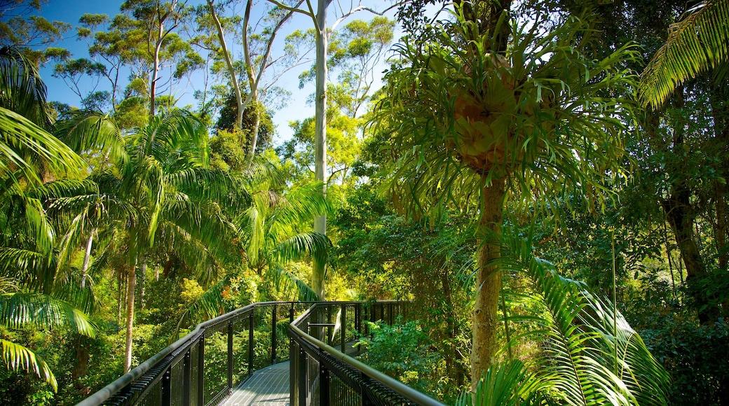 Mount Tamborine featuring rainforest and a suspension bridge or treetop walkway