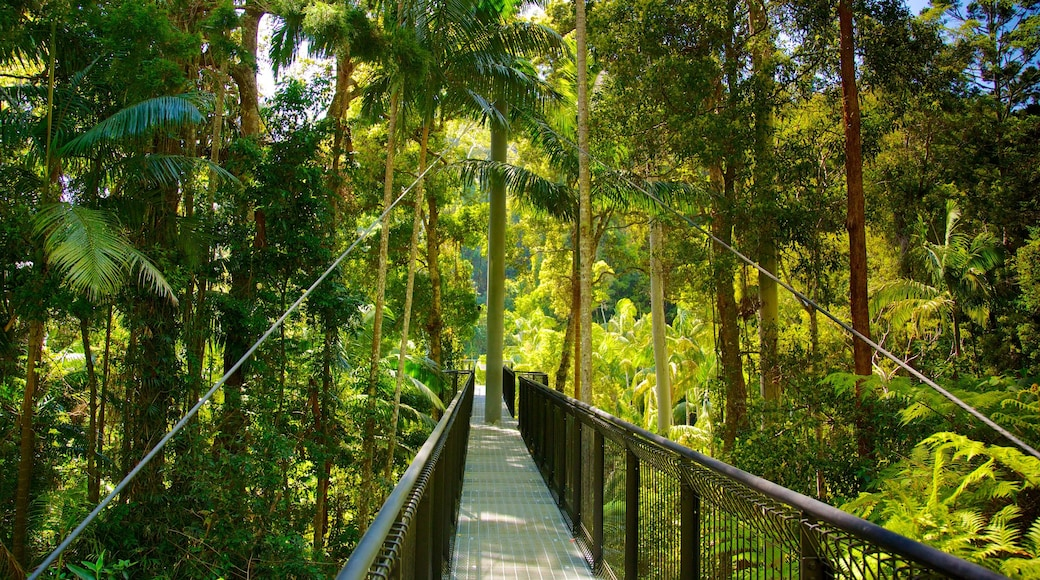 Mount Tamborine showing a suspension bridge or treetop walkway and rainforest