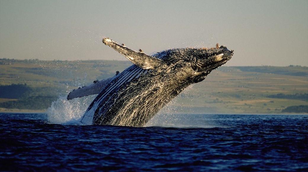 Hermanus qui includes vie marine, vues littorales et observation des baleines