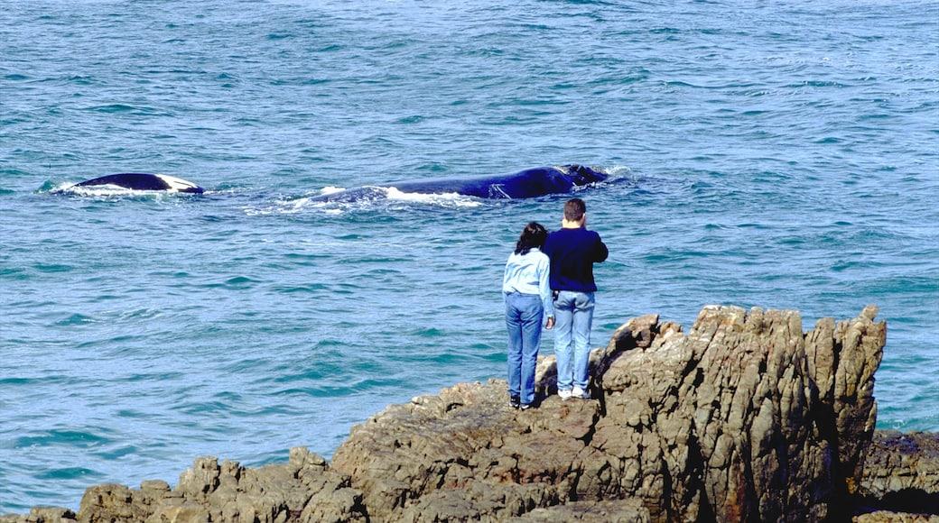 Hermanus montrant observation des baleines, côte escarpée et panoramas