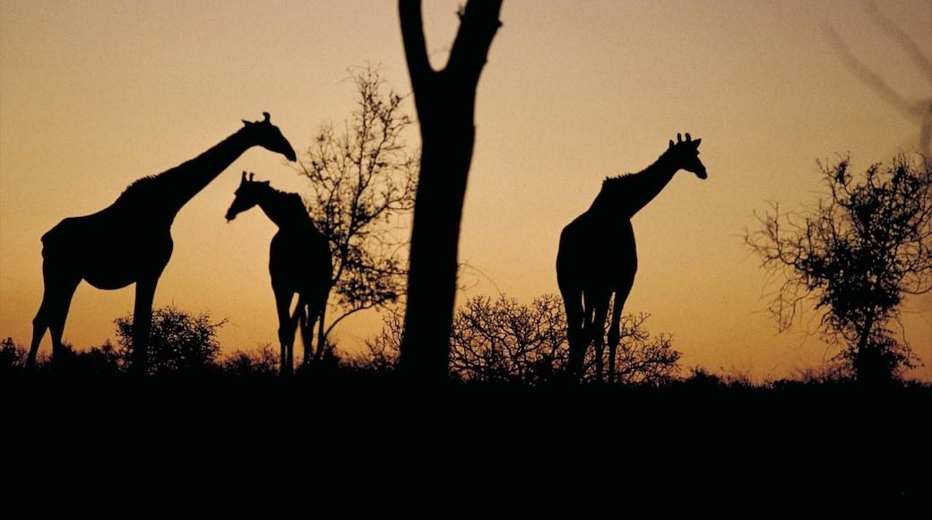 Krüger-Nationalpark mit einem Landtiere, Sonnenuntergang und Safari-Abenteuer