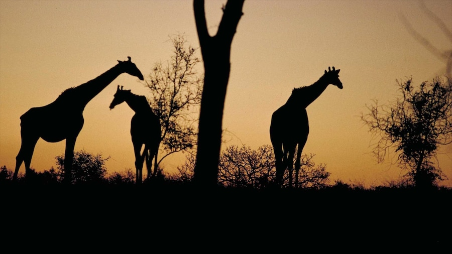 Kruger National Park which includes safari adventures, a sunset and land animals