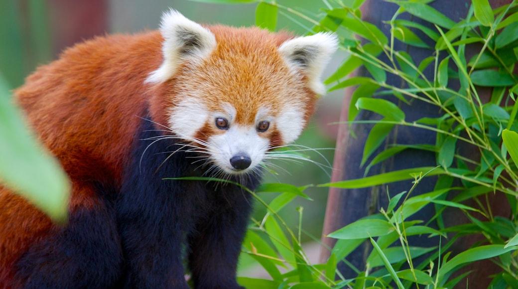 Colchester Zoo das einen Tiere und Zootiere