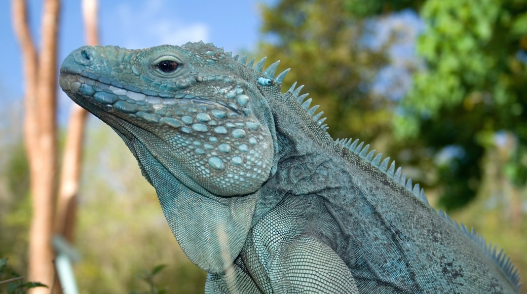 Grand Cayman featuring animals