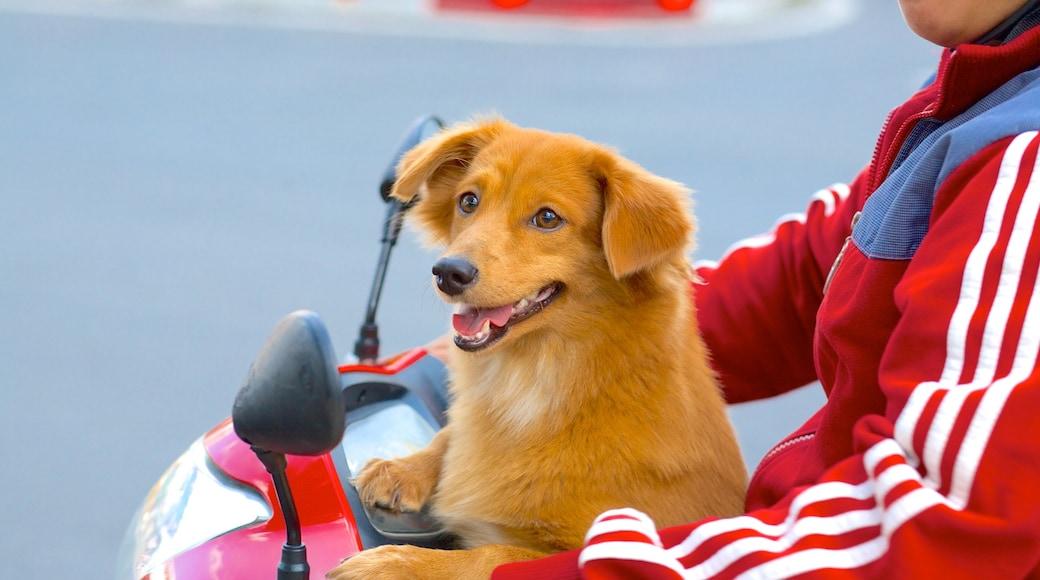 Hô-Chi-Minh-Ville montrant moto et animaux domestiques ou inoffensifs