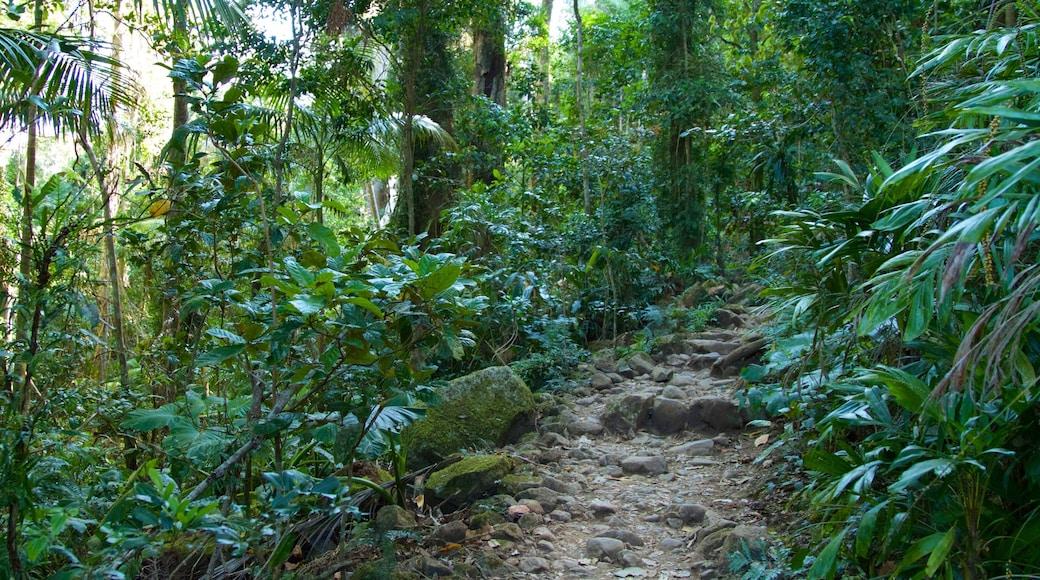 Mount Warning featuring rainforest