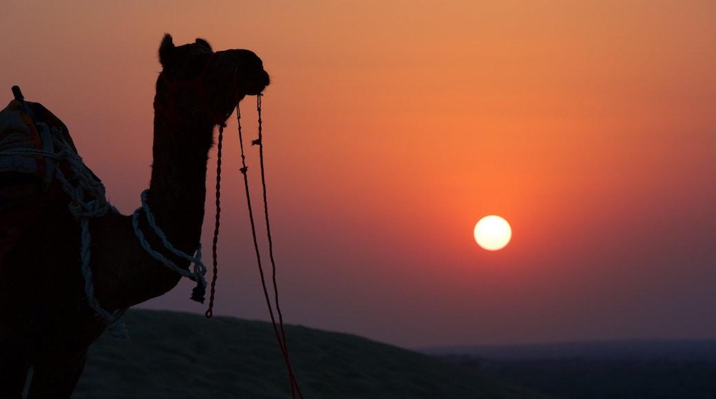 Khuri Sand Dunes showing land animals, a sunset and animals