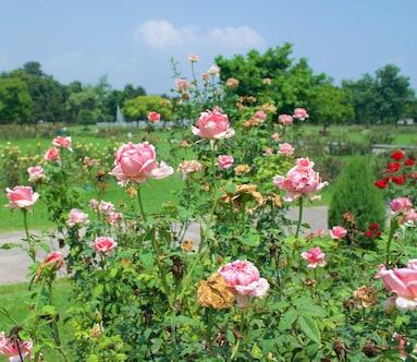 Zakir Rose Garden