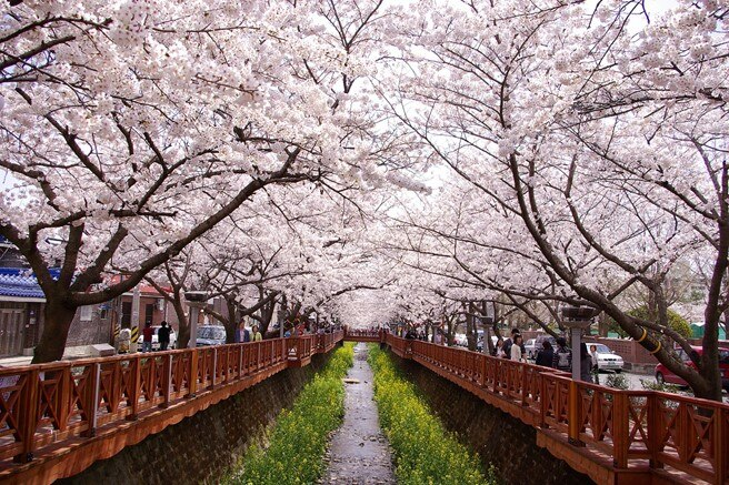 釜山櫻花景點攻略
