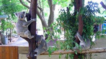 ,Santuario de Koalas