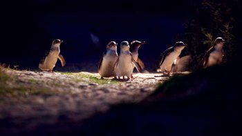 Penguin Parade Evening Tour with Premium Viewing Platform