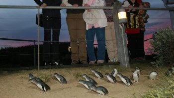 Phillip Island & Penguin Parade Premium Viewing Tour