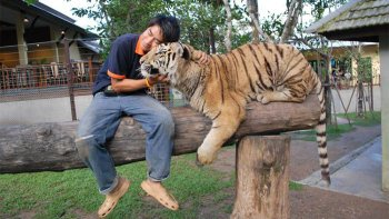 Tiger Kingdom & Padong Long-Necked Hill-Tribe Village Half-Day Tour
