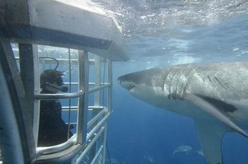 Shark Cage Diving with Great White Sharks