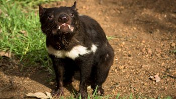 Tasmanian Devils and Richmond