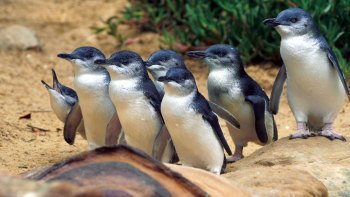Phillip Island Penguins, Kangaroos & Koalas Tour from Melbourne