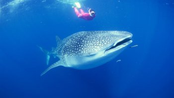 Deluxe Whale Shark Swim Experience
