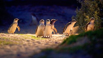 Penguin Parade & Moonlit Sanctuary Wildlife Express tour