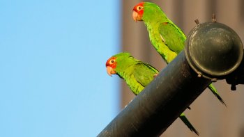 Wild Parrots of Telegraph Hill Walking Tour