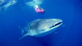 Whale Shark Tour with Snorkeling & Lunch