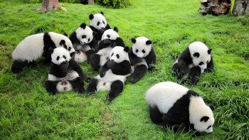 Pandas & Chengdu History Tour with Flight & Lunch