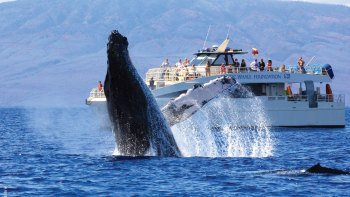Maui Whale Watching Tour from Lahaina