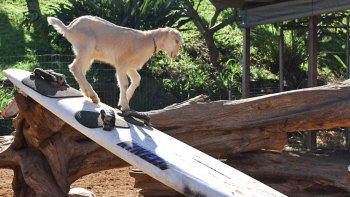 Surfing Goat Dairy Grand Farm Tour