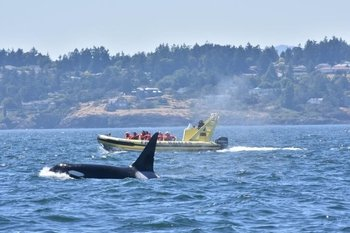 Victoria Zodiac Whale Watching Adventure