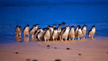 Private Penguin Watching, Food & Wine Tour of Phillip Island