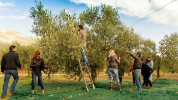 Grove-to-Mill Olive Oil Tour in Ligourio with Tastings