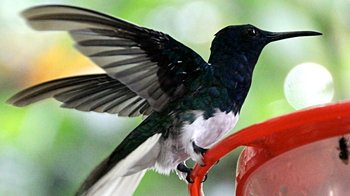Bellavista Cloud Forest 2-Day Birding Tour