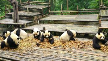 Private Tour to Panda Breeding Base & Leshan Giant Buddha